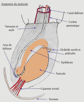 TORSION-DE-TESTICULE