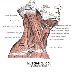 300px Anatomie cou  - Anatomie cou
