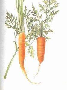 carote 224x300 - Carotte