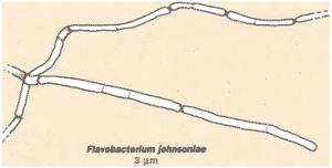 img 18 300x152 - Flavobactéries (cytophagales)