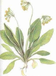 primev%C3%A8re 220x300 - Primevère officinale   fleur de coucou   clef de Saint-Pierre