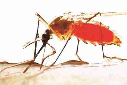 Les piqûres d'insectes : les moustiques - C'est Savoir.fr
