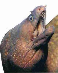 img58 238x300 - Piqûres et morsures d'animaux marins et d'arthropodes : Les murènes