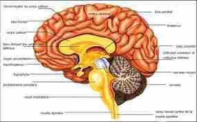 cerv1 - Le système nerveux