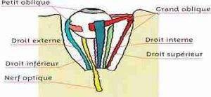 muscles oculaires1 300x139 - Qu'est-ce qu'un œil, et pourquoi sont-ils deux : anatomie
