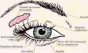 paupi%C3%A8res1 300x181 - Qu'est-ce qu'un œil, et pourquoi sont-ils deux : anatomie