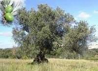 Lolea europea - L'olivier : l'arbre éternel ?