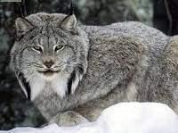 Lynx - Lynx