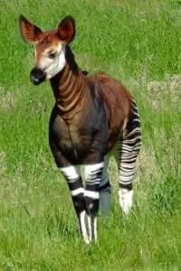 Okapia johnstoni 200x300 - L'okapi
