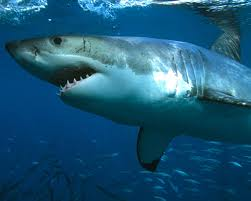 Requins - Requins