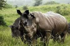 Rhinocéros - Rhinocéros