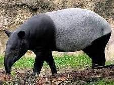 Tapirs - Tapirs