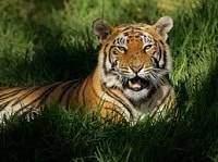 Tigres - Tigres