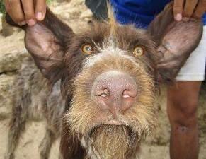 chien1 - Le chien cochon