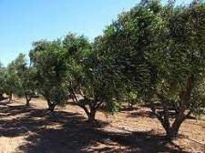 oliveraie - L'olivier : Où trouve-t-on les oliveraies ?