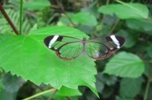 Papillons Transparentes