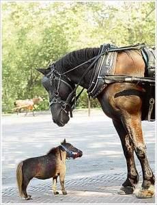 petit cheval2 230x300 - Le plus petit cheval du monde