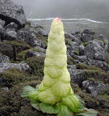 La noble rhubarbe ou rhubarbe du sikkim (Rheum nobile)