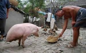 Cochon à deux pattes seulement