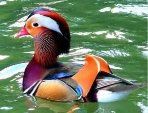 Merveilleux canard