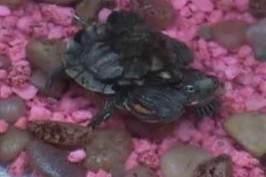 Une tortue à 3 têtes
