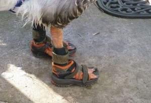 Une bernache porte une paire de chaussures