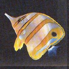 Chétodon orange - Chétodon orange