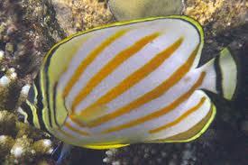 Chétodon orné - Chétodon orné