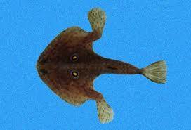Chauve souris de mer rouge - Chauve-souris de mer rouge