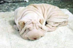 Chien Avec trop de rides 300x200 - Un chien serviette