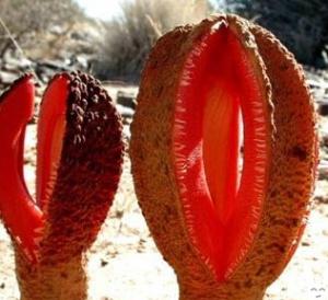 Hydnora Africana 300x274 - Des plantes bizarres