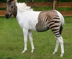 Mi-cheval Mi-zèbre