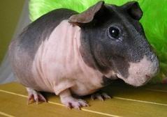 Un cochon rare