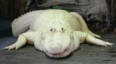 Un crocodile albinos