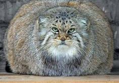 Les plus gros chats du monde