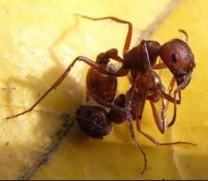Les fourmis de feu