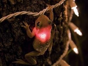 frog1234 300x225 - Grenouille a avalé une ampoule