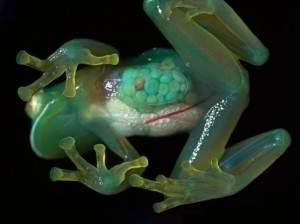 Une jolie grenouille transparente