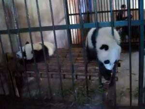 Un drôle bébé panda