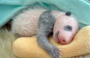 Photos de bébé pandas