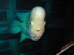 Un poisson exotique