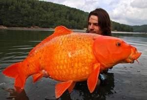 poisson géante 300x205 - Poisson rouge géant