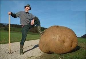 La géante pomme de terre