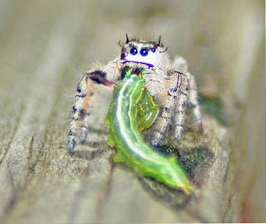 Une araignée insolite