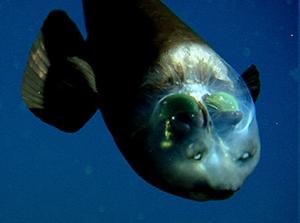 Un requin avec une tête transparente