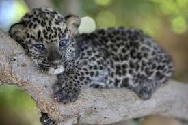 00004 - La panthère,ou léopard