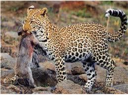 00016 - La panthère,ou léopard