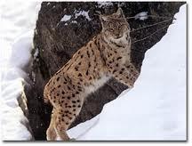 0005 - Le lynx d'Amérique du nord