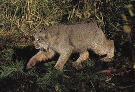 0008 - Le lynx roux,ou bobcat