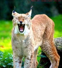0010 - Le lynx roux,ou bobcat